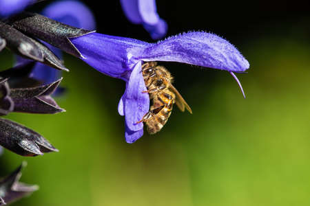 A Macro Photograph of a Bee is Gathering Pollen Inside a Flower 写真素材