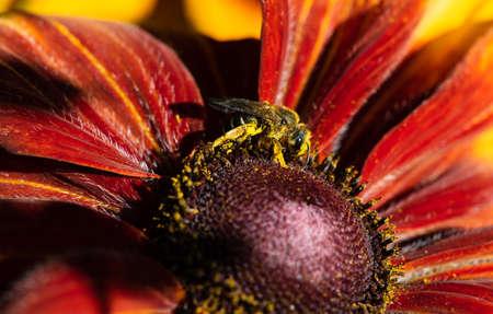 Bee pollen Is a Macro Shot of a Bee Pollinating 写真素材