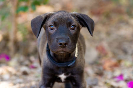 A Cute Black Puppy Dog With Big Eyes is Looking Straight at the Camera