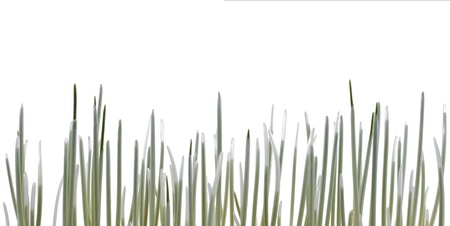 Early light green wheat sprouts isolated on white Stock Photo - 8416681