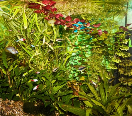neon tetra: Aquarium with many types of fish