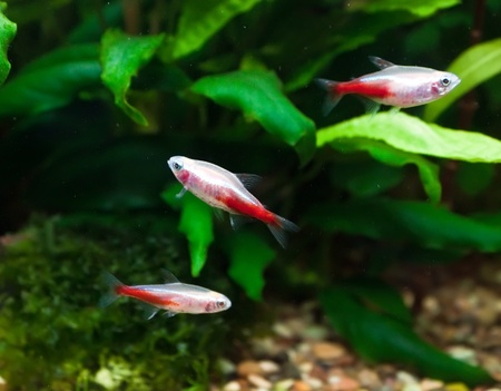 neon tetra: Gold neon tetra in aquarium Stock Photo