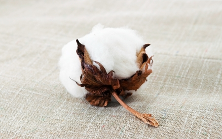 Cotton plant on the texture photo
