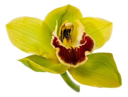 orchids: Orchidea verde