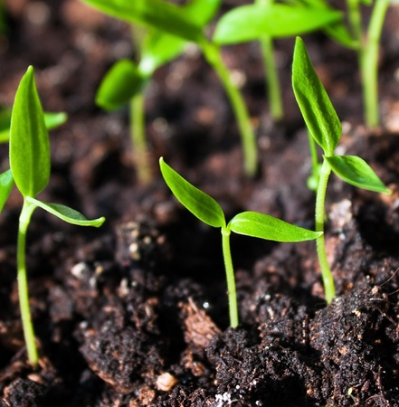 the ground: Young sprouts in the soil