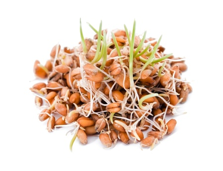 sprouted: Sprouted wheat on white background