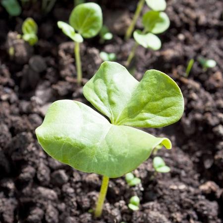 planta de algodon: Esquema de la planta de algod�n