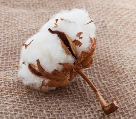 organic cotton: Batuffolo di cotone su saccheggiando materiale Archivio Fotografico