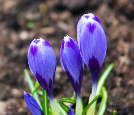Spring crocus flowers in soil photo