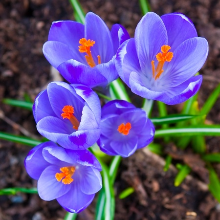 Crocus flowers in the soil photo
