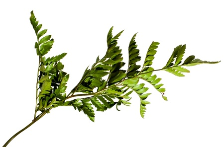 Pattern of the fern isolated on white photo