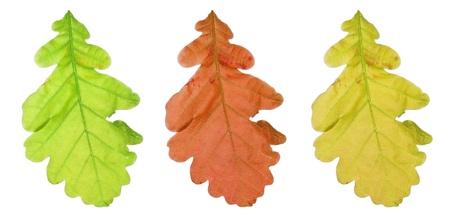 Set of oak tree leaves isolated on white background photo