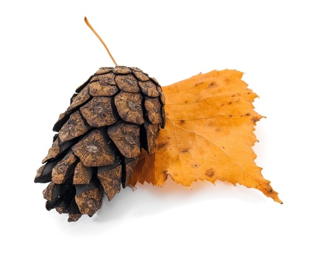 Pine cone on the autumn tree leaf photo