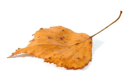 Autumn leaf isolated on white Stock Photo - 10775483
