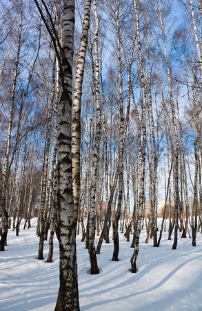 Birch forest in winter time photo