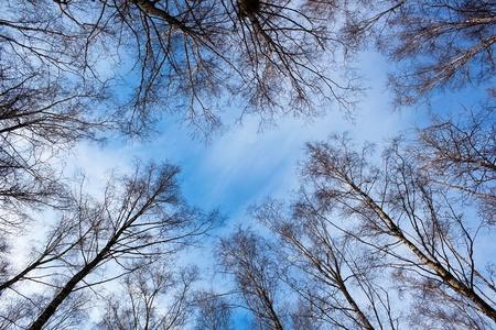Birch trees on sunny day ower winter sky photo