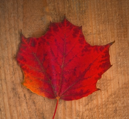 lea: Red autumn maple lea on wooden background Stock Photo