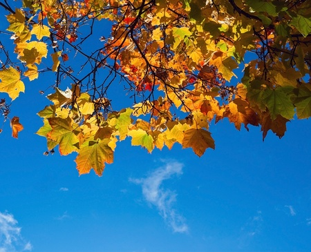 changing: Autumn maole leaves on blue background Stock Photo