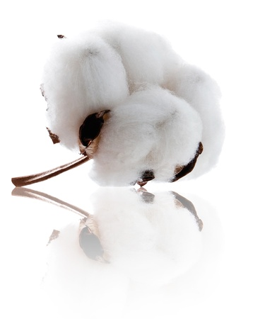 organic cotton: Impianto di cotone morbido con la riflessione