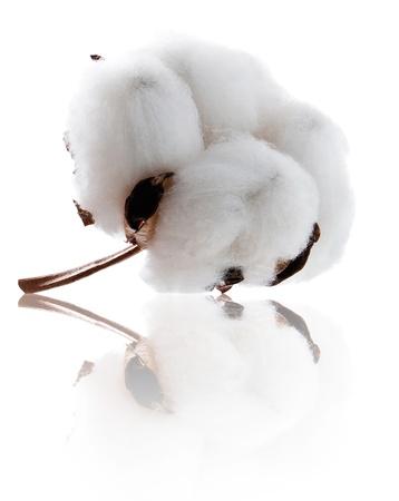 planta de algodon: La planta de algod�n suave con la reflexi�n