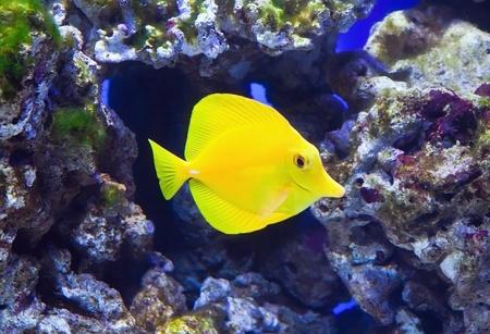 zebrasoma: Tropical reef aquarium fish. Zebrasoma