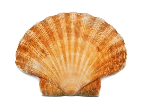 Sea shell on white background photo