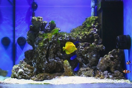 Salt water aquarium with zebrasoma and clown fishs photo