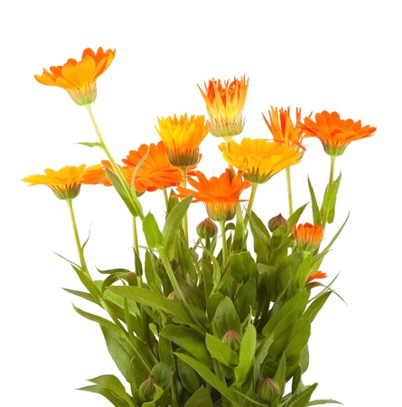 Bunch of the calendula flowers on white background photo