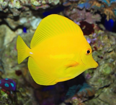Yellow tropical ocean fish Zebrasoma photo
