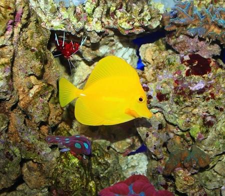 zebrasoma: Zebrasoma in salt water aquarium Stock Photo