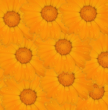 Calendula plant in the soil photo