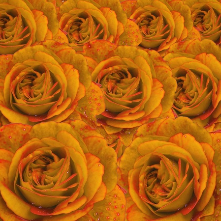 Elegant yellow roses with water drops make background Stock Photo - 11494288