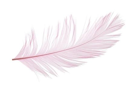 Elegant violet feather on white background Stock Photo - 11753424