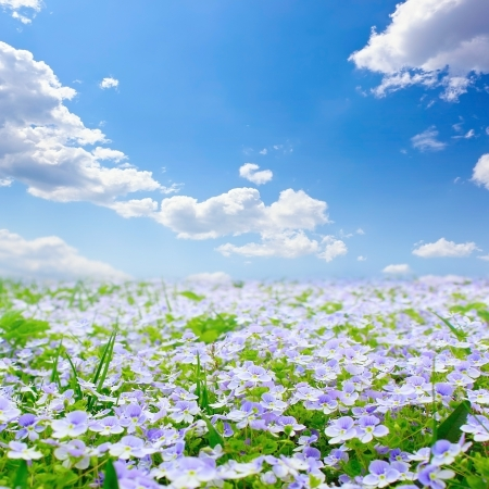 forget me not: Meadow with blue flowers Stock Photo