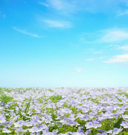 forget me not: Sunny beautiful flower field