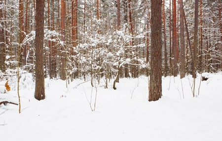 Pine tree forest in snow photo
