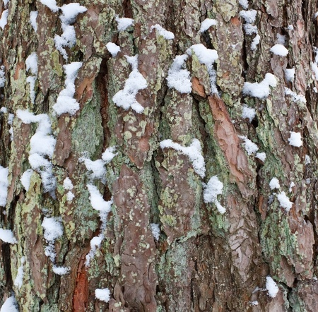 Pattern of pine surface texture photo