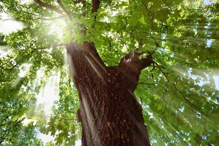 large trees: Maple tree crown in the sunlight Stock Photo