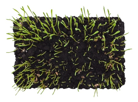Young sprouts in the soil Stock Photo - 12541871