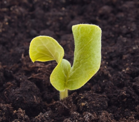 seedling growing: Young plant in the soil