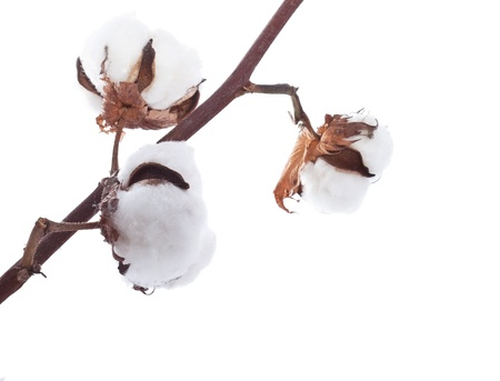 cotton plant: Branch of the cotton over white background
