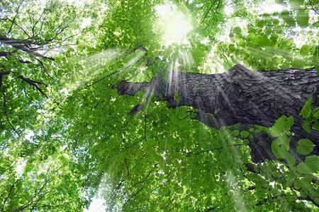 Linden tree in the sun lights photo