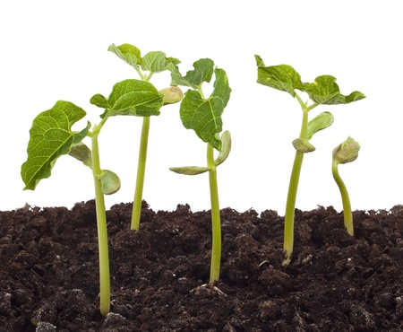 seedling growing: Groups of plants growing in soil Stock Photo