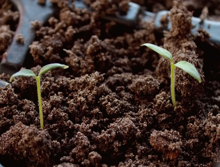 soil conservation: Two sprouts
