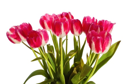 Bouquet of red tulips on white background