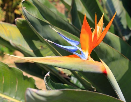 bloom bird of paradise: Tropical flower strelitzia on floral background