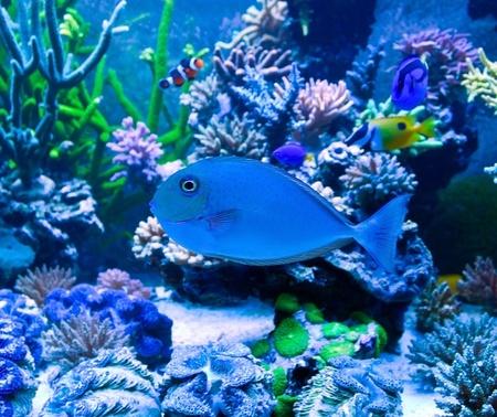 Salt water aquarium tropical blue fish Stock Photo - 13025298