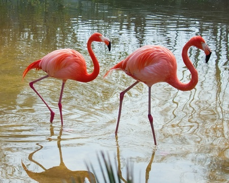 orange rose: Two red flamingo in the pond