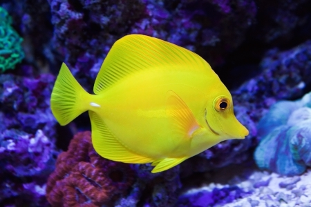 yellow tang: Beautiful zebrasoma salt water aquarium fish