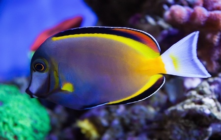 Salt water tropical fish Japonicus photo